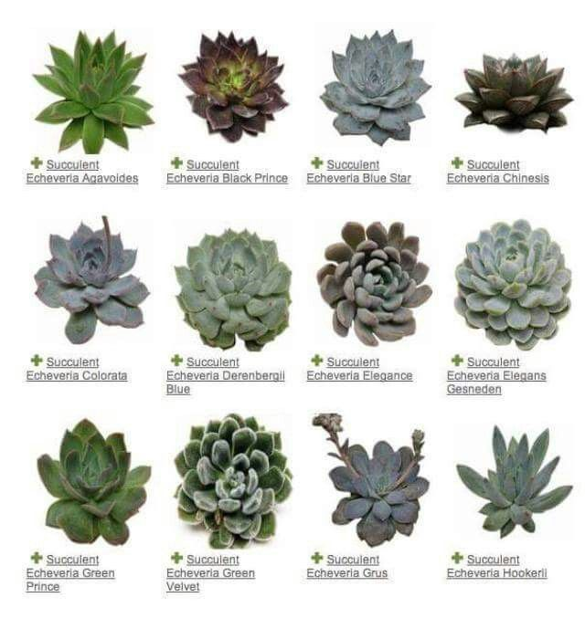 Succulents a plant guide gardens plants and for Garden trees types