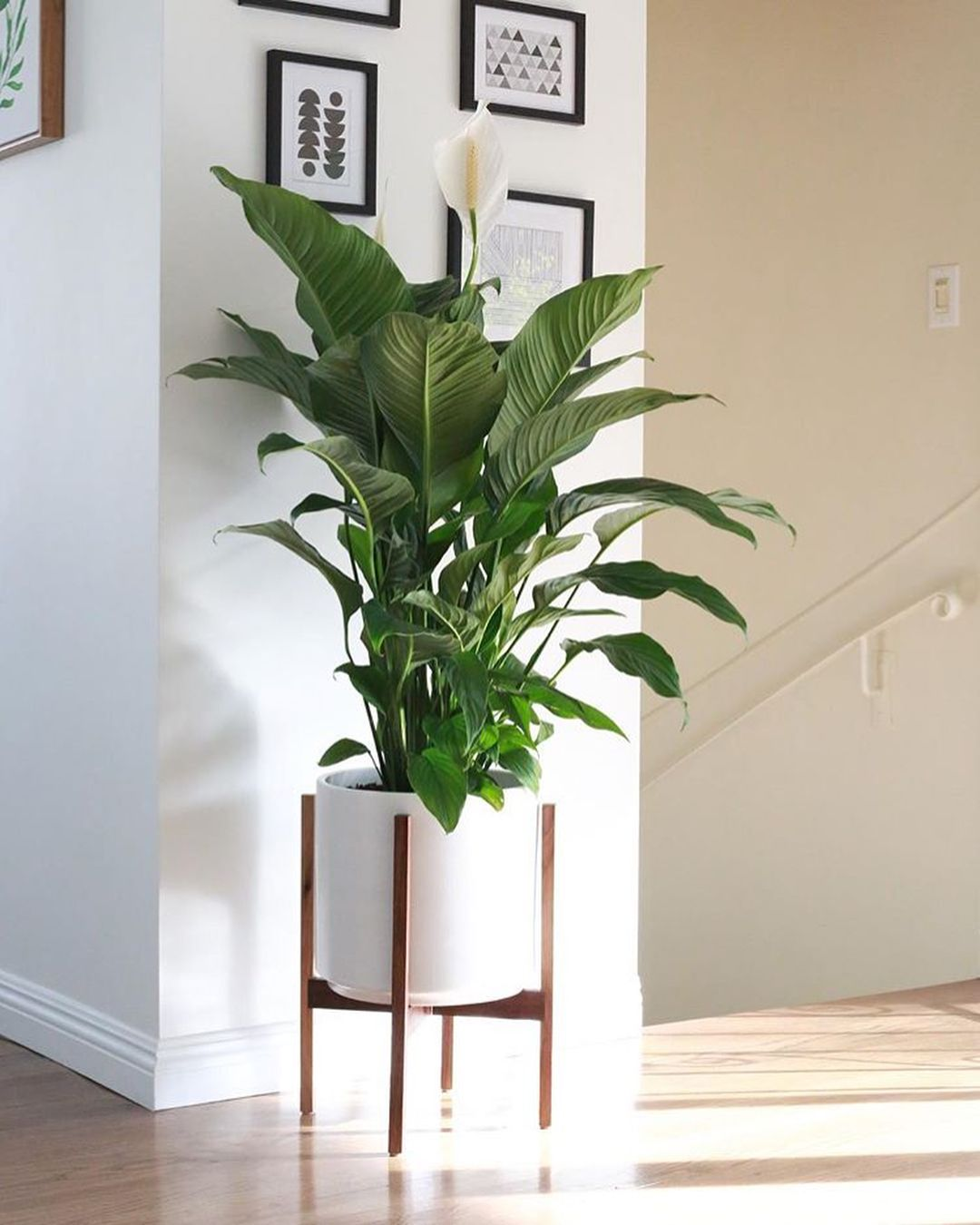 Peace Lily Plant Corner Plants At Home Plant Stand Huge 400 x 300