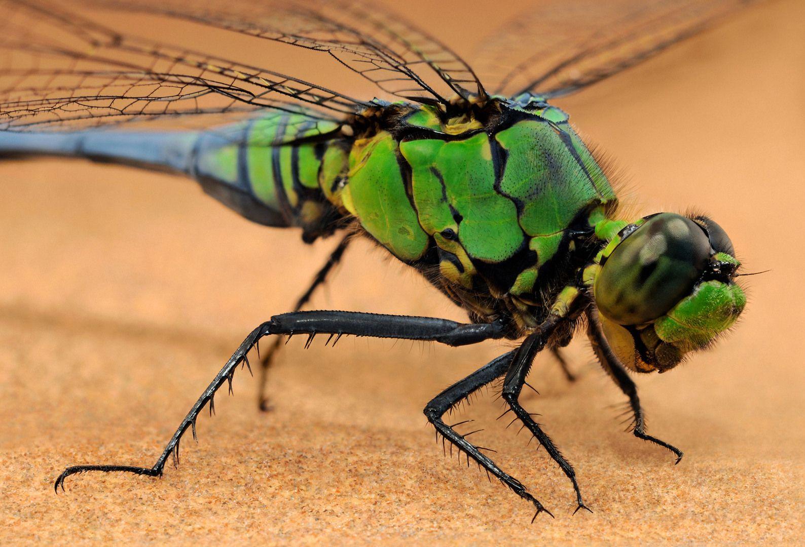 eastern pondhawk dragonfly   An immature male eastern pondhawk dragonfly (Erythemis simplicicollis ...