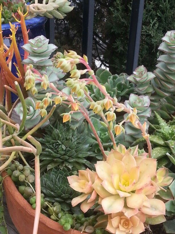 Succulent blooms in my garden ♡