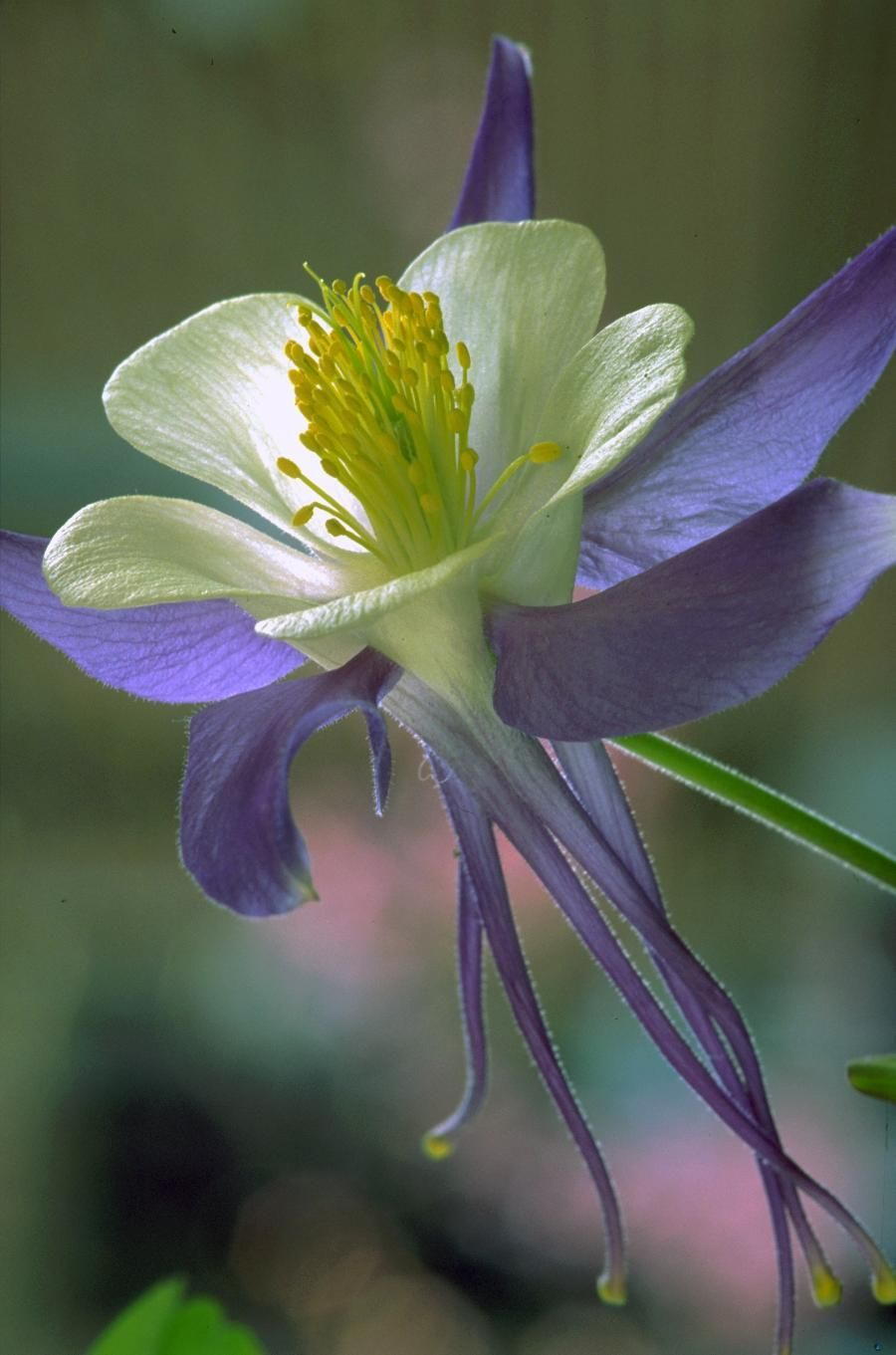 Today i have a closeup of the flower i created with susans garden today i have a closeup of the flower i created with susans garden columbine dies i never would have thought izmirmasajfo