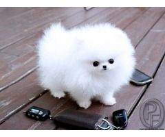 Pomeranian Puppy For Sale In Mumbai Maharashtra India In Pet Animals And Accessories Catego Pomeranian Puppy Teacup White Pomeranian Puppies Pomeranian Puppy
