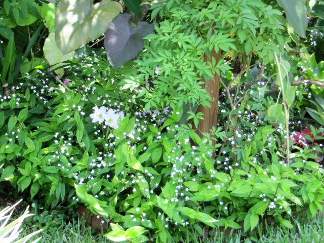 Tahitian Bridal Veil, ele ear 'Magic Maui', Habranthus robustus, St. Vincent lilac