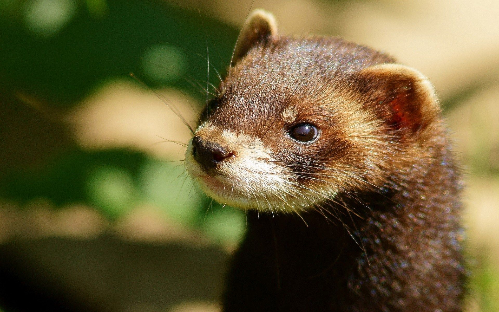 Animal Screensavers And Backgrounds Free Animals Mink Animal Ferret