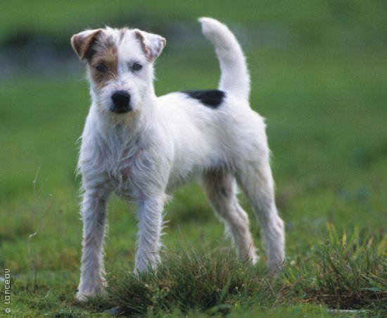 ... Russells | Pinterest | Parson russell terriers, Russell terrier and White Parson Russell Terrier
