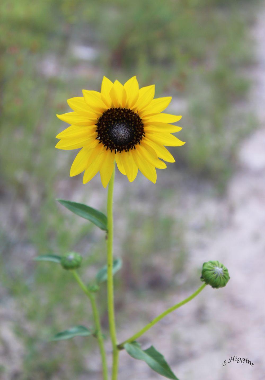 Looking around...by E Higgins   Plants, Sunflower, Garden