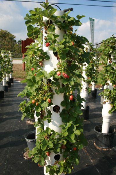 fraisiers fabriqu s dans des tuyaux de pvc plantes fleurs et jardin pinterest potager. Black Bedroom Furniture Sets. Home Design Ideas