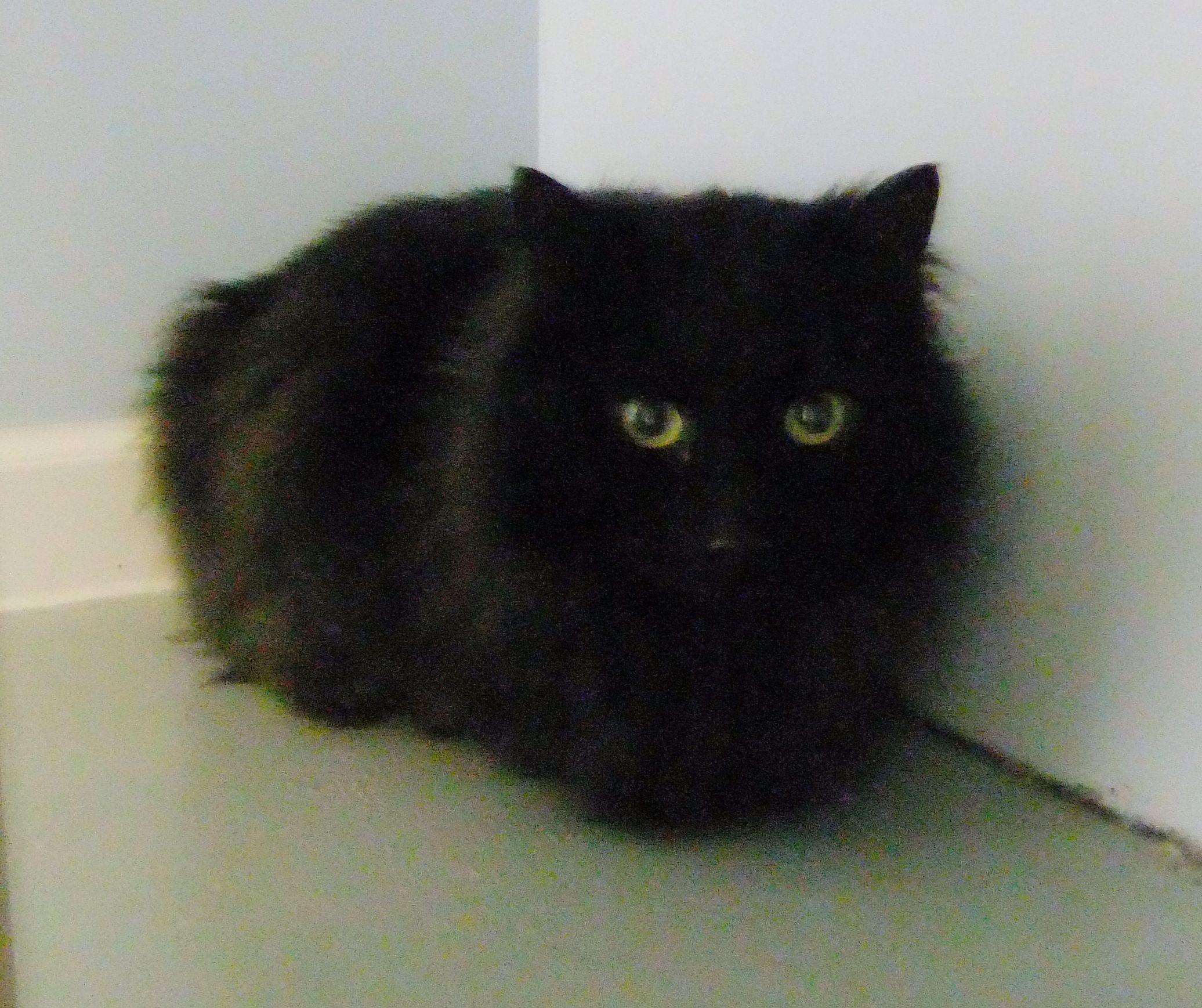 long hair black cat. | Cute Animals | Pinterest | Black ...