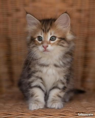 Petite Chaton Norvegien Lof A Donner Cute Cats And Dogs Kittens Cutest Cute Cats