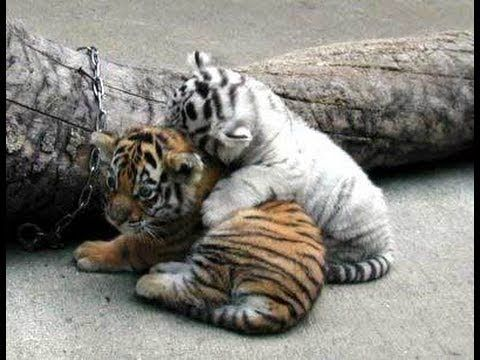 This pin is about to tigers getting along. (Left tiger, right ...