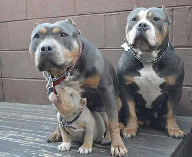 Beautiful Blue And Silver Tri Colored Pit Family Bully Dog Cute Dogs Pitbull Puppies