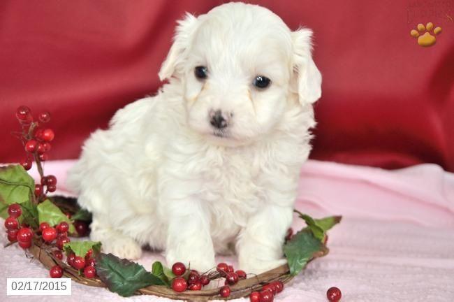 Maltese Puppy For Sale In Indiana Maltese Puppies For Sale Maltese Puppy Puppies For Sale