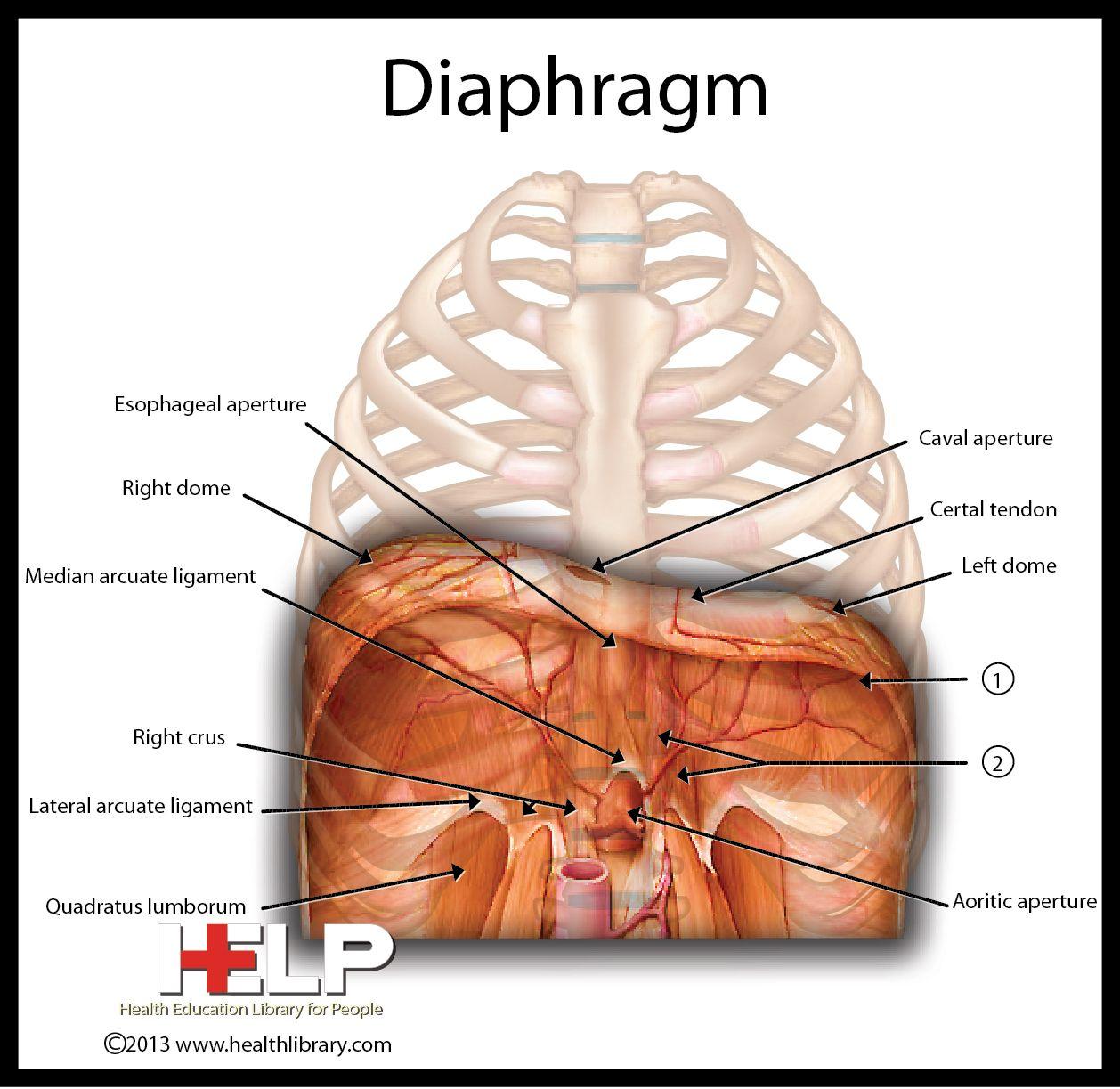Diaphragm Respiratory System Pinterest Medical Anatomy And