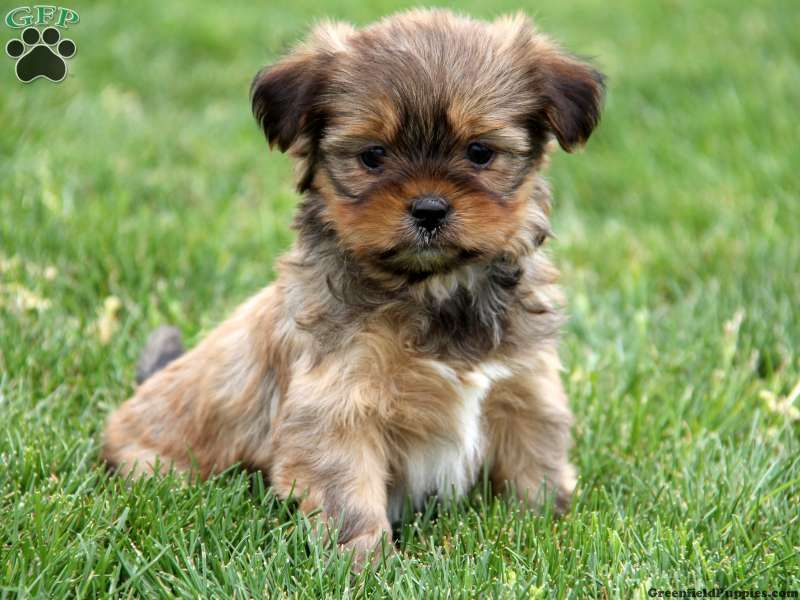 Ship From Gfp Shipping Puppies Greenfield Puppies Shorkie Puppies Cute Cats And Dogs Puppies