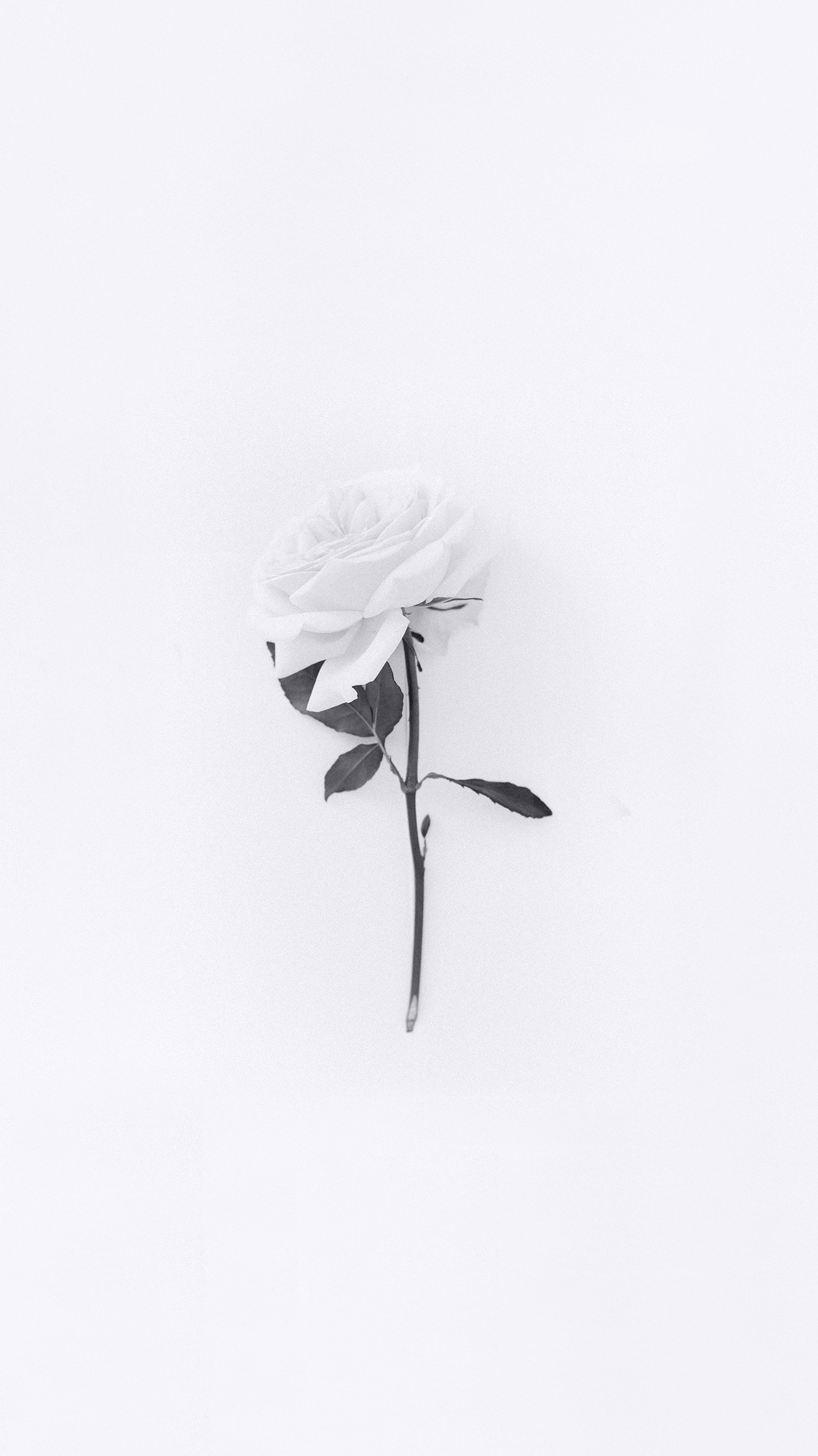 White Rose Wallpaper White Wallpaper For Iphone White Iphone Background White Roses Wallpaper Iphone black and white roses wallpaper
