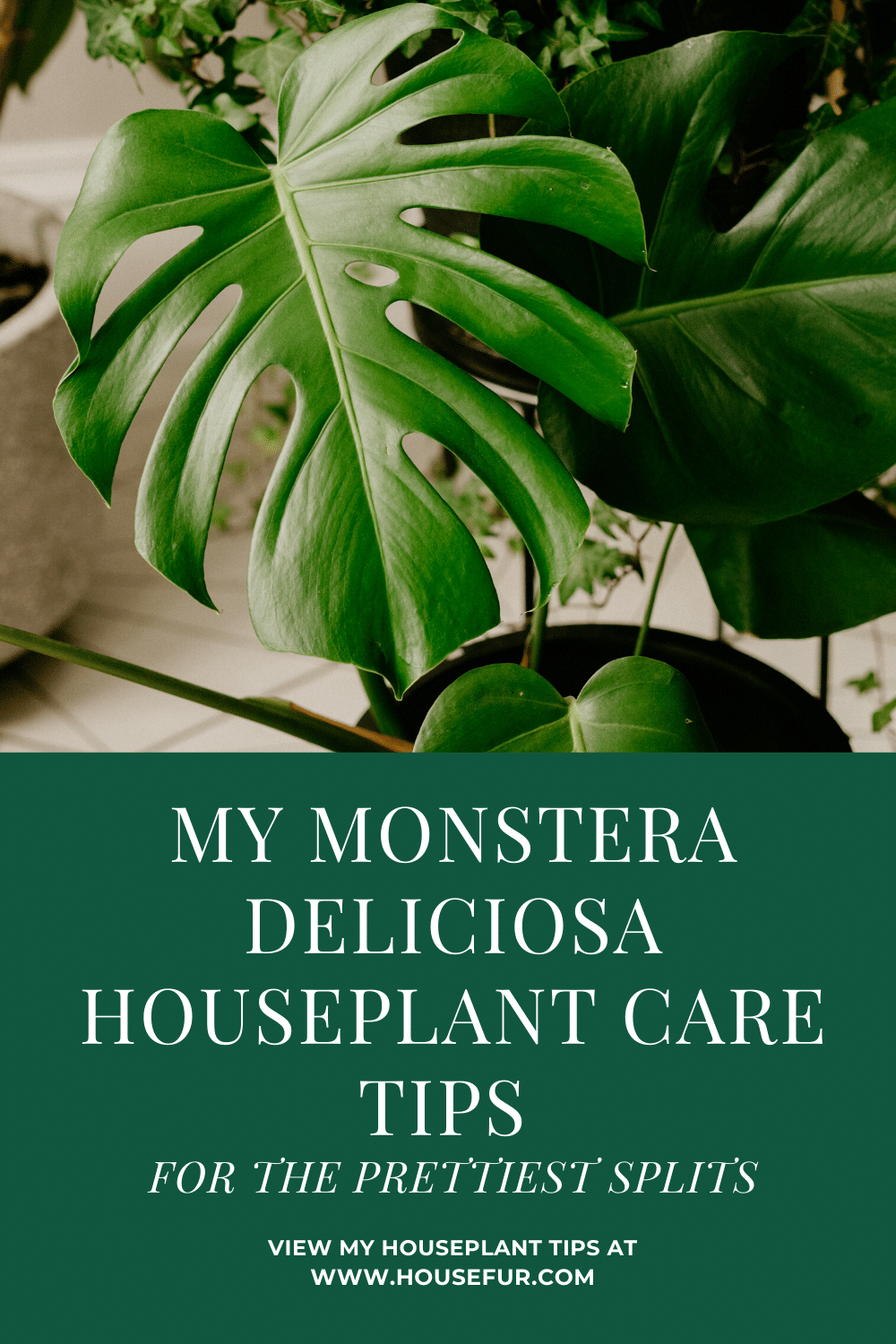 My Monstera Deliciosa Houseplant Care Tips For The Prettiest Splits House Fur House Plant Care Monstera Deliciosa Monstera Deliciosa Care