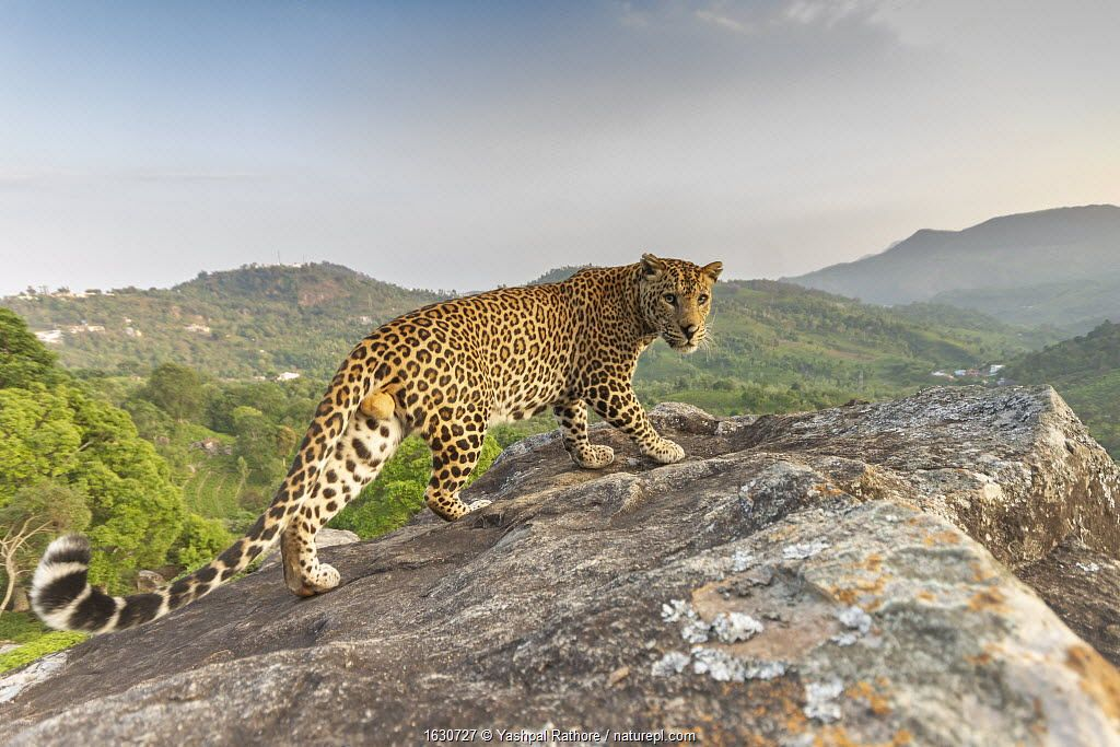 Indian leopard on rock with forested hills . Nilgiri