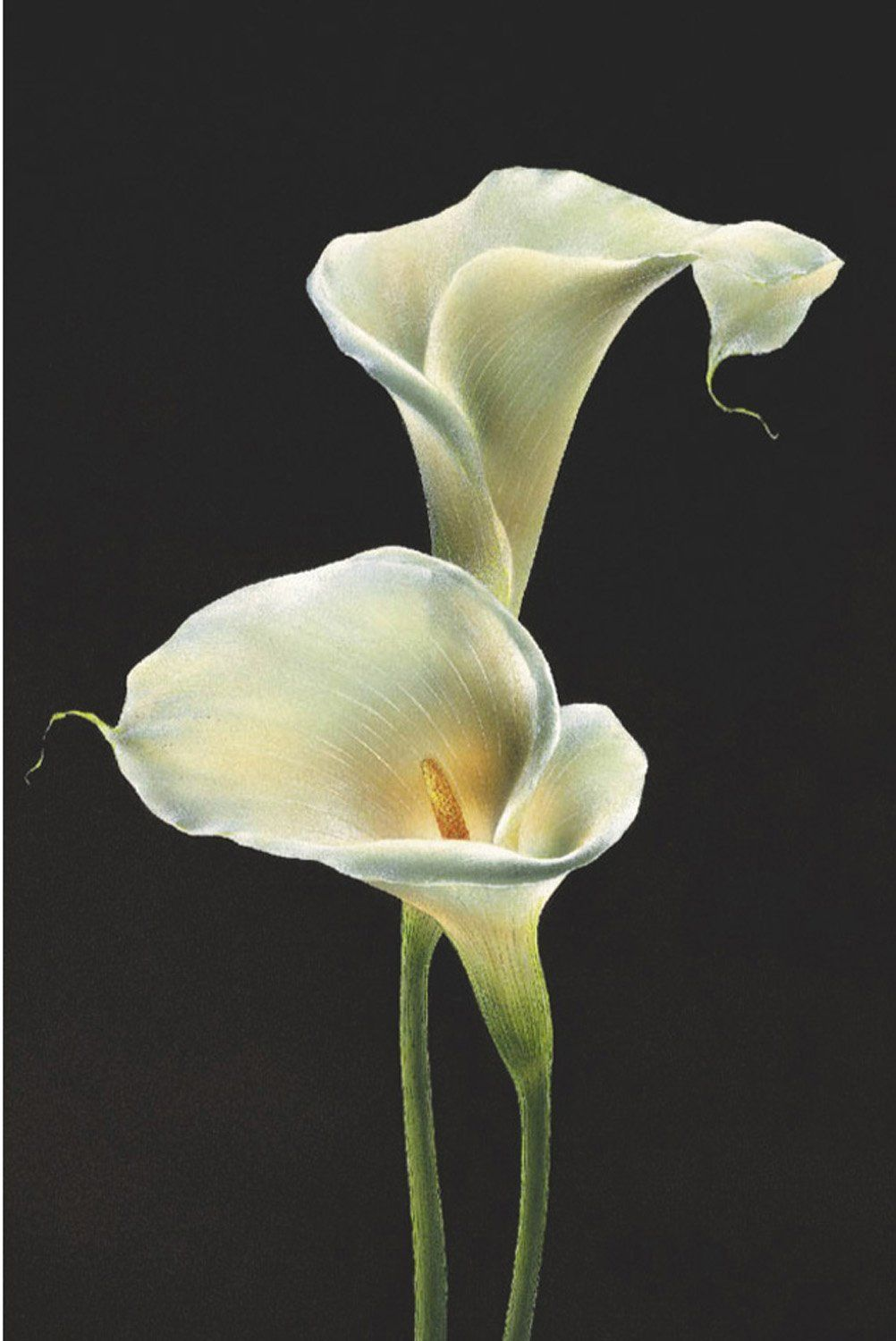 Calla Lillies White Art Poster Print Lily Painting Lilies Drawing Flower Art