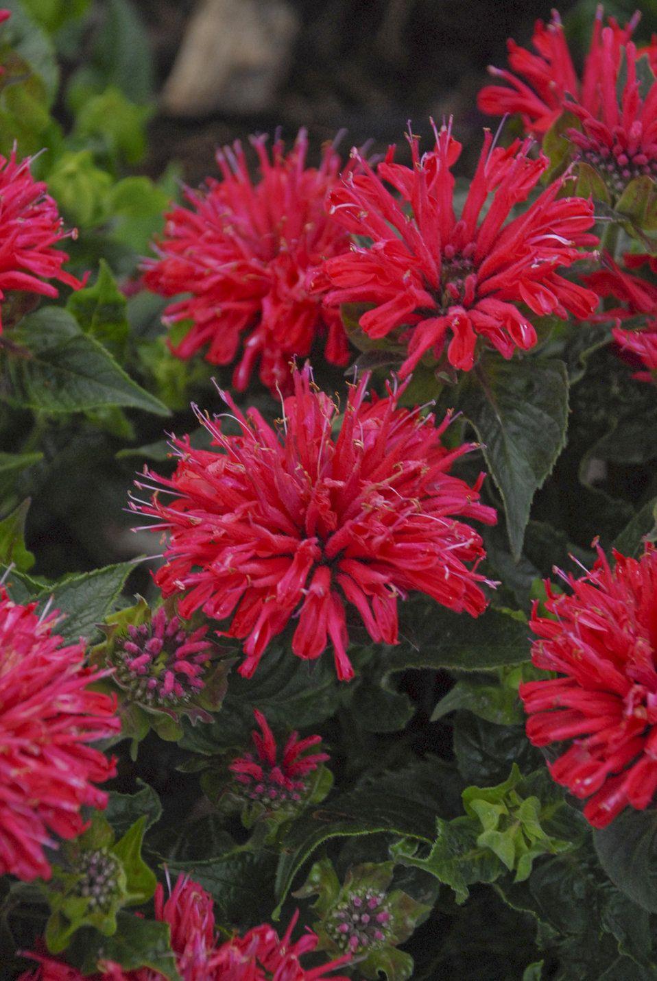 'Pardon My Cerise' Bee Balm Monarda didyma Garden