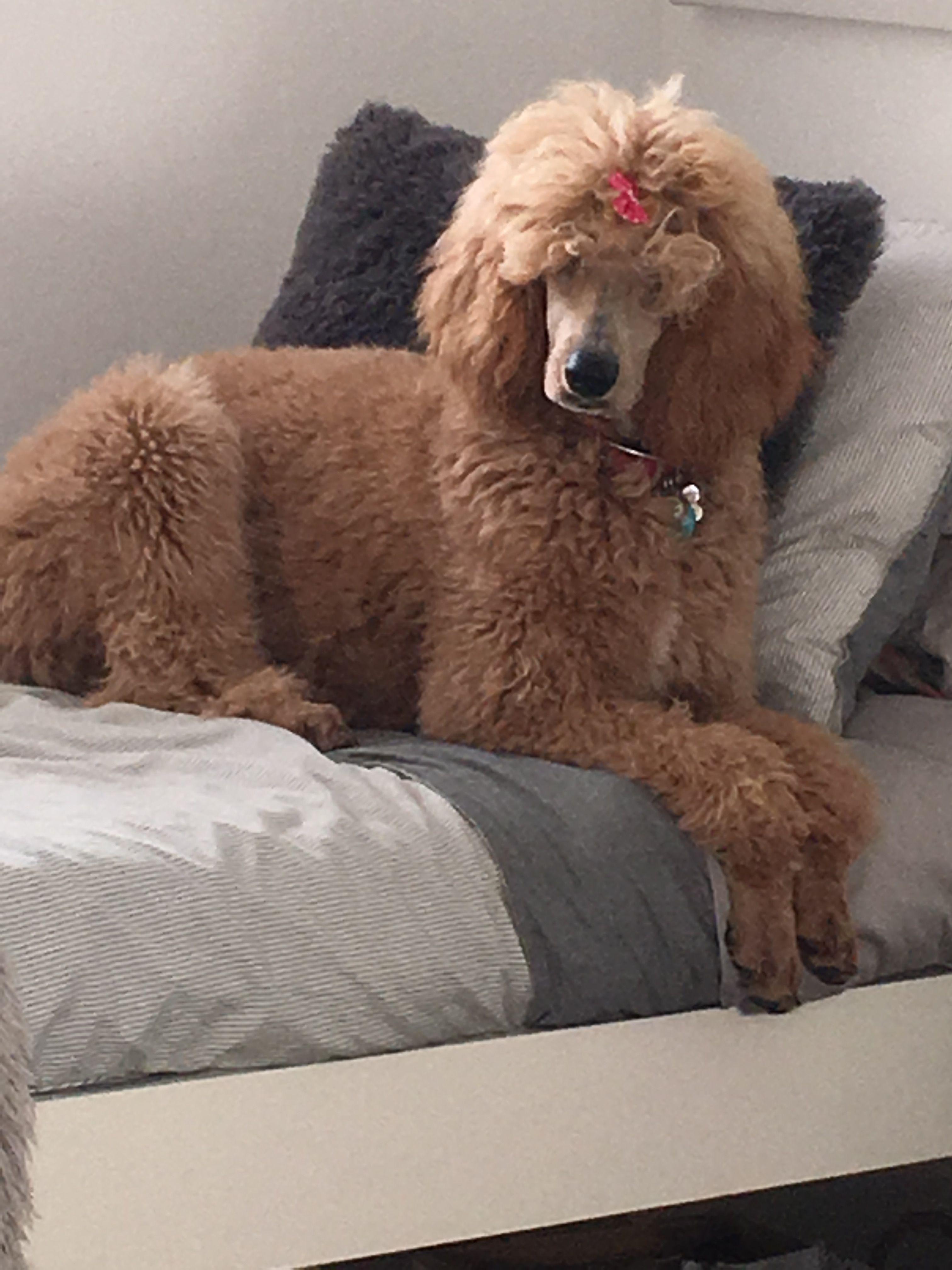 Apricot Standard Poodle 6 Months Frankie Poodle Pets