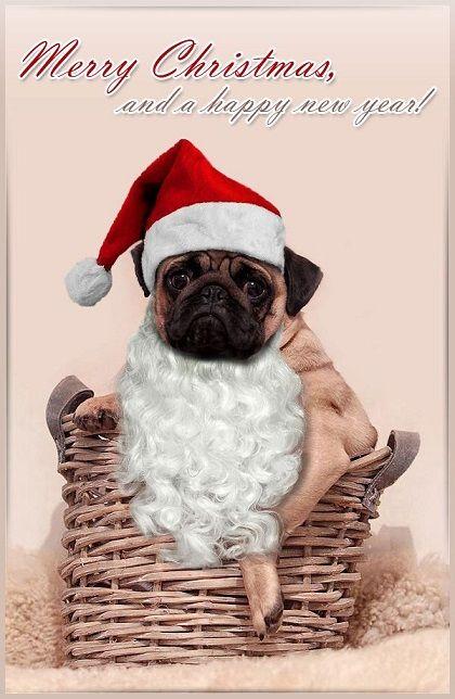 Pug Christmas Card Baby Pugs Pugs Funny Cute Pugs
