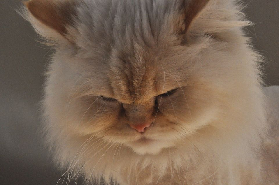 Healthy And Purebred Himalayan Cats Kittens For Sale In India Get Healthy And Purebred Himalay Himalayan Cat Kitten Himalayan Cat Himalayan Kittens For Sale