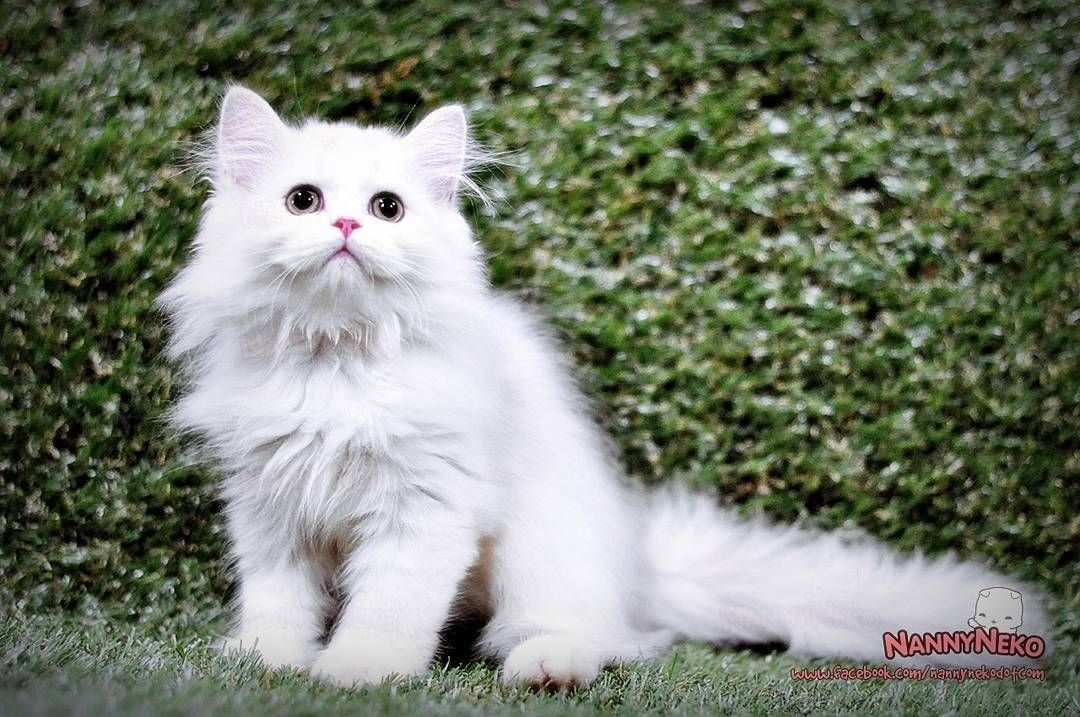 Nanny Jobs Near Me (With images) Cat scottish fold