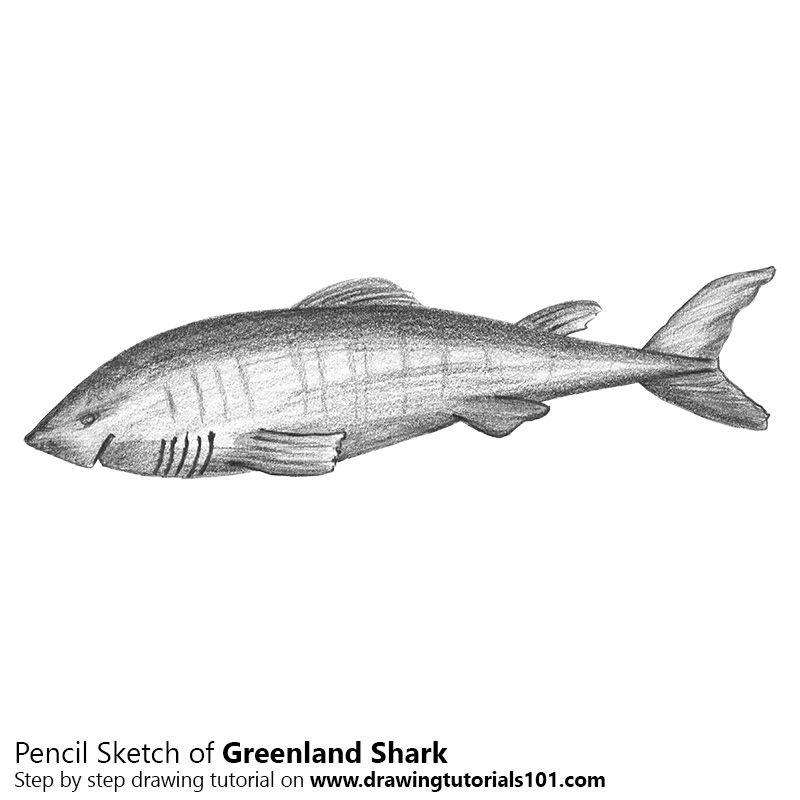 Greenland Shark With Pencils Shark Painting Shark Drawing Greenland Shark