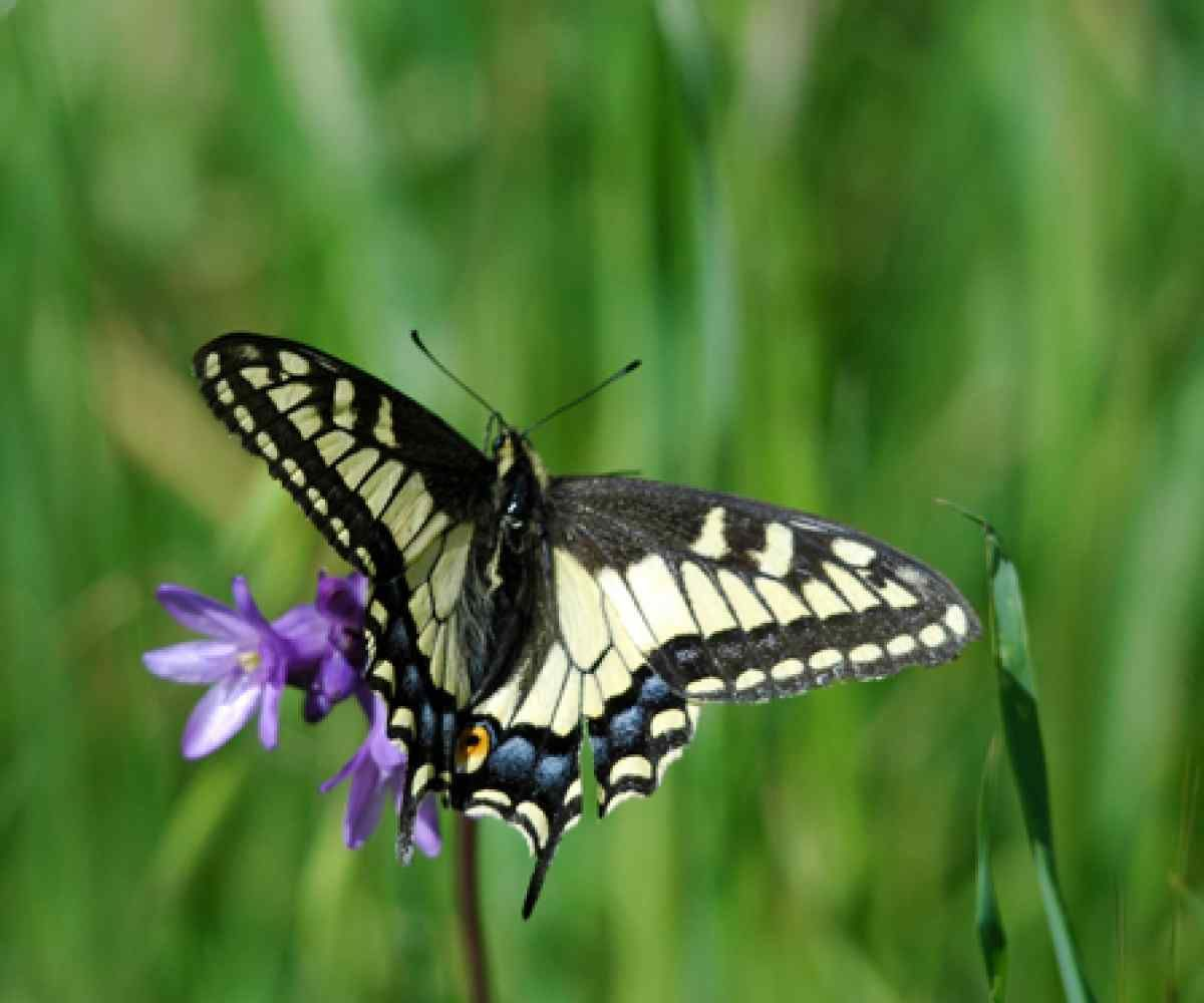 Anise Swallowtail Erfly