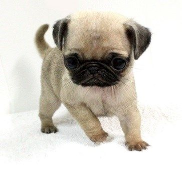 Cute Pug Puppy With Images Cute Pugs Baby Pugs Cute Pug Puppies