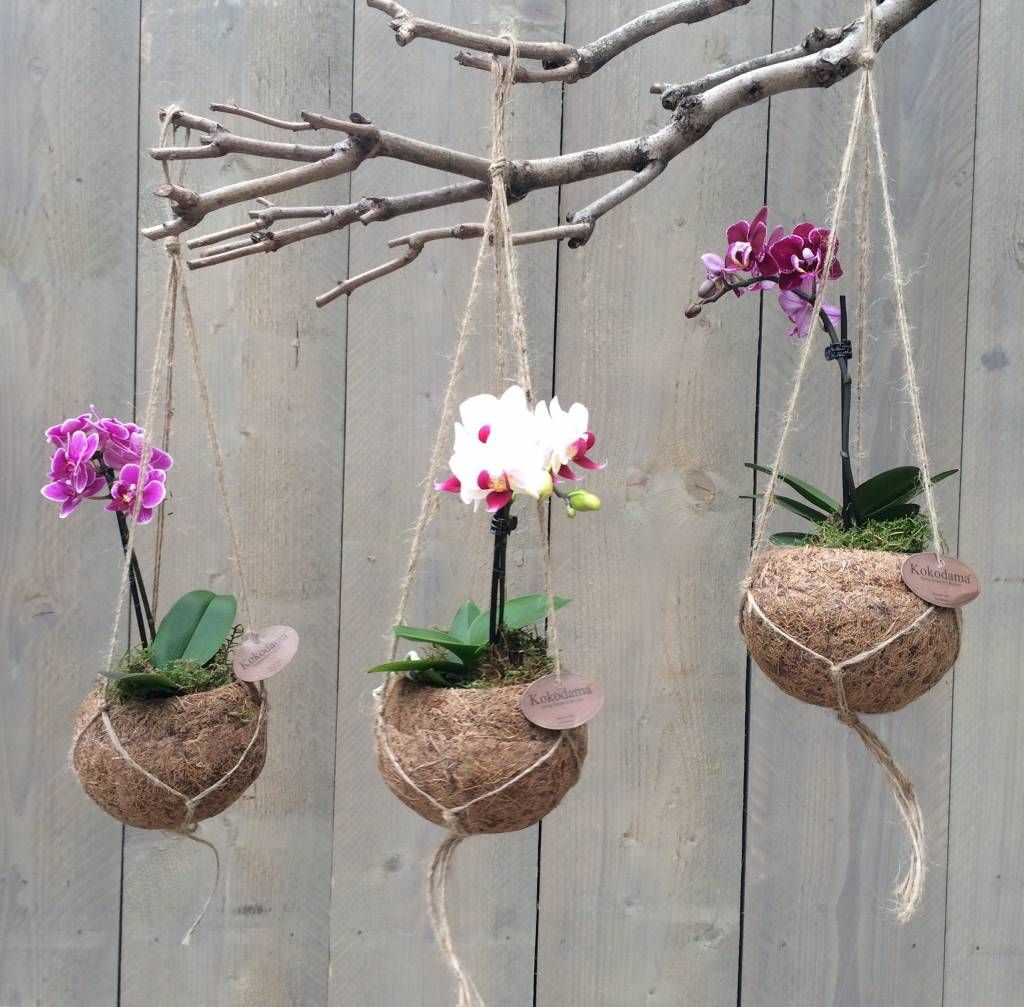 miniature phalaenopsis in kokedama like pots hanging from a branch miniaturas pinterest. Black Bedroom Furniture Sets. Home Design Ideas