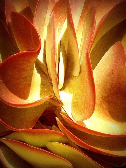 Desert Cabbage Abstraction Orange