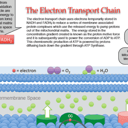 Electron Transport Chain Study Guide | School