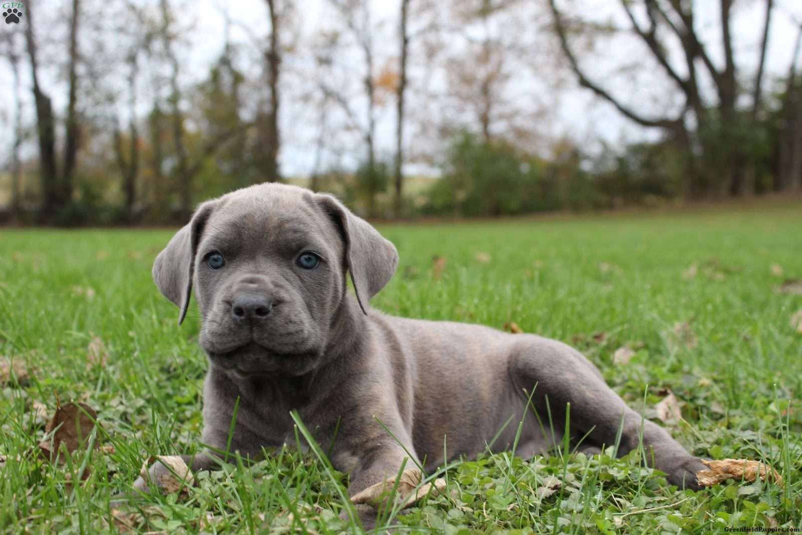 Rivers Cane Corso Puppy For Sale in Pennsylvania (With