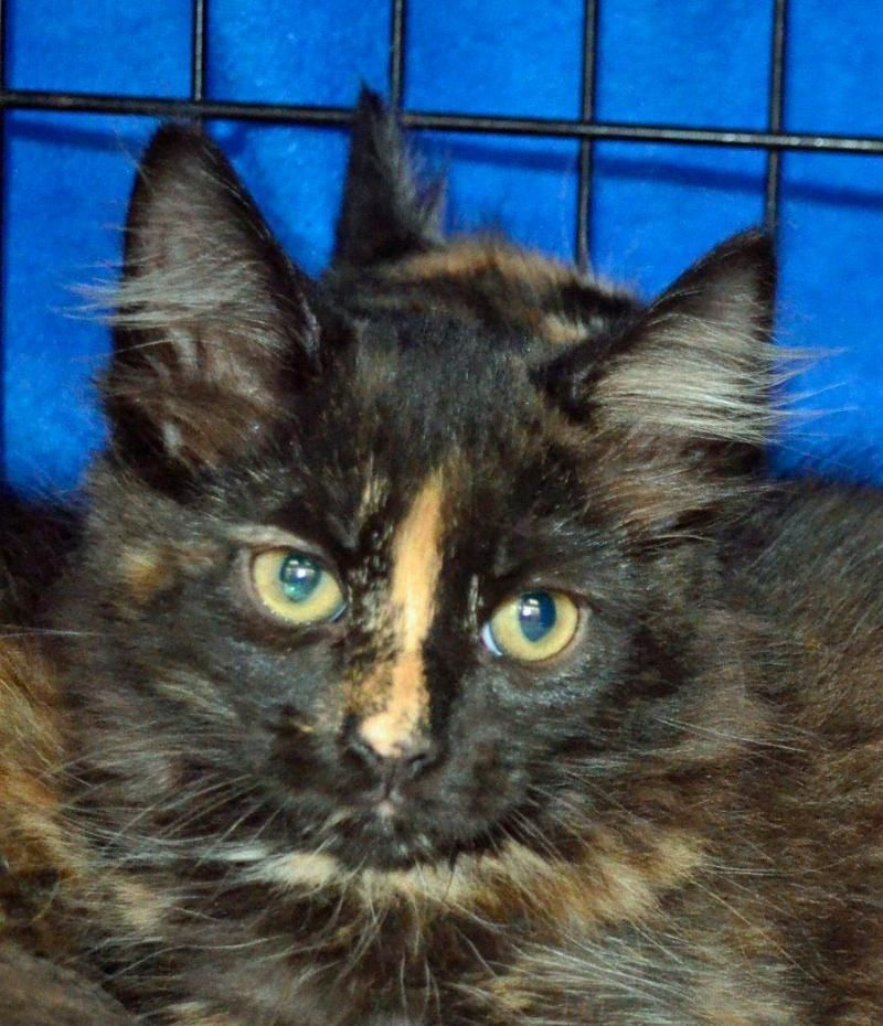 Adopt Mala On Petfinder Cat Adoption Cats Pets
