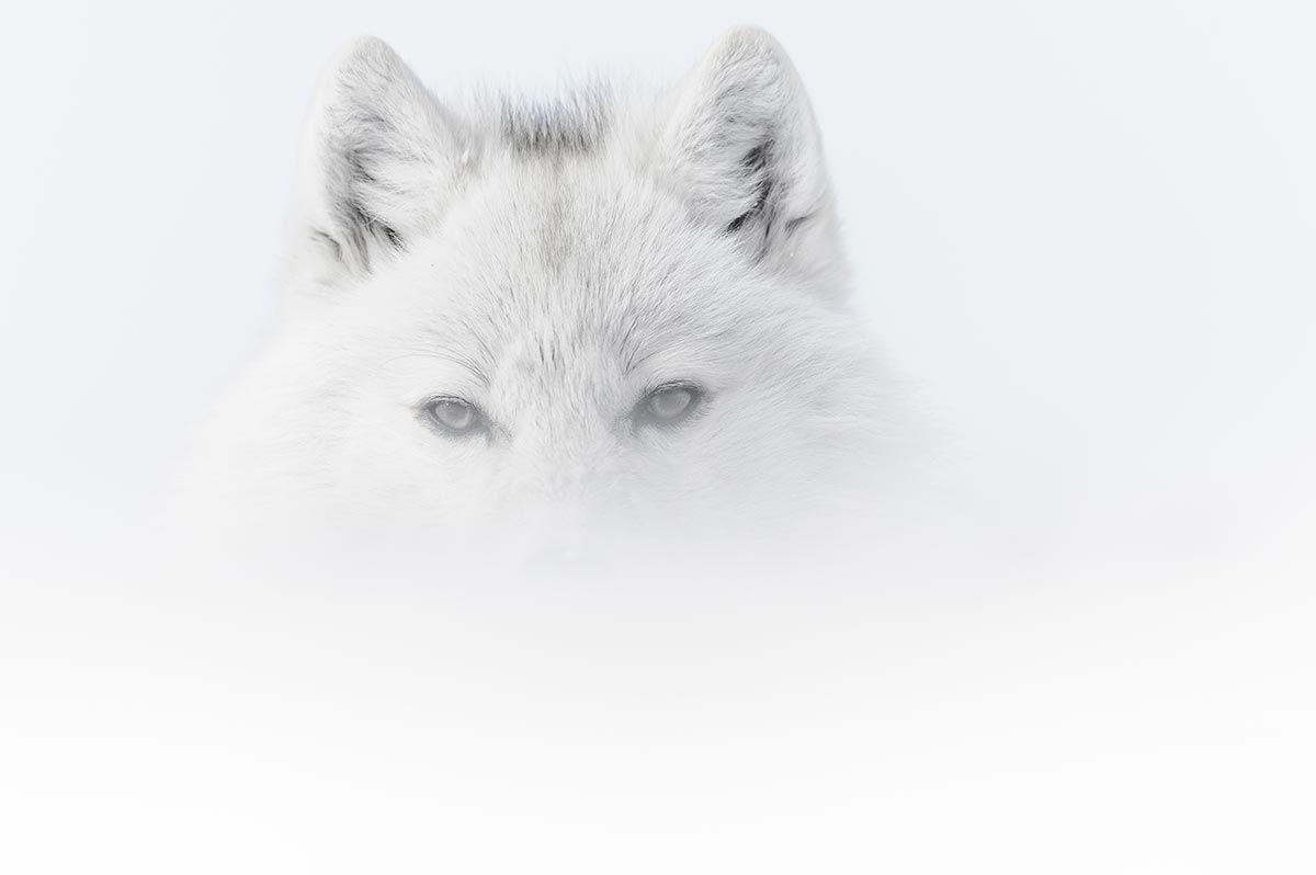 """Résultat de recherche d'images pour """"vincent munier loup"""""""