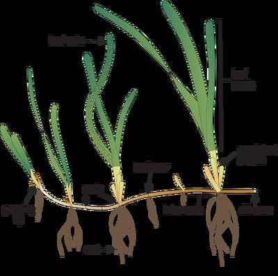 Plant morphology diagram google search plant morphology plant morphology diagram google search ccuart Image collections