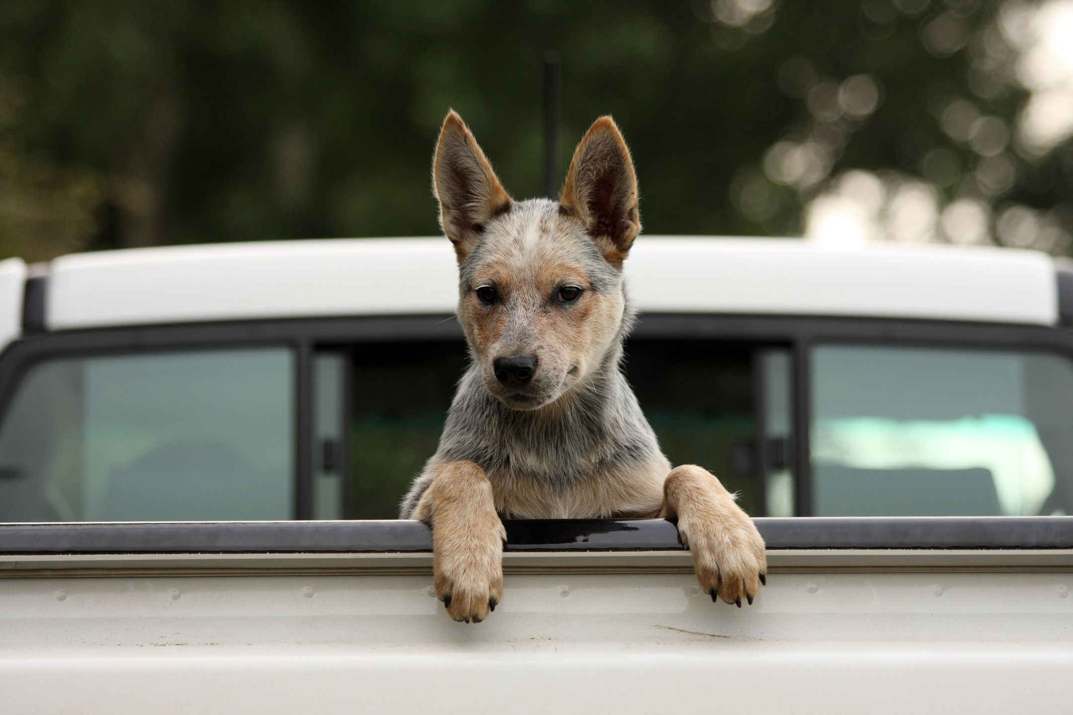 Oldest Dog In The World Bluey Was He Oldest Dog To Ever Live The Ancient Australian Cattle Dog Was Bo Austrailian Cattle Dog Heeler Puppies Dogs And Puppies