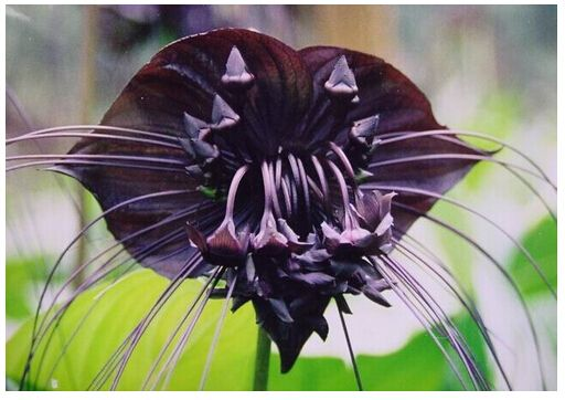Pix For Rare Black Orchids Orchid Seeds Rare Flowers Orchids