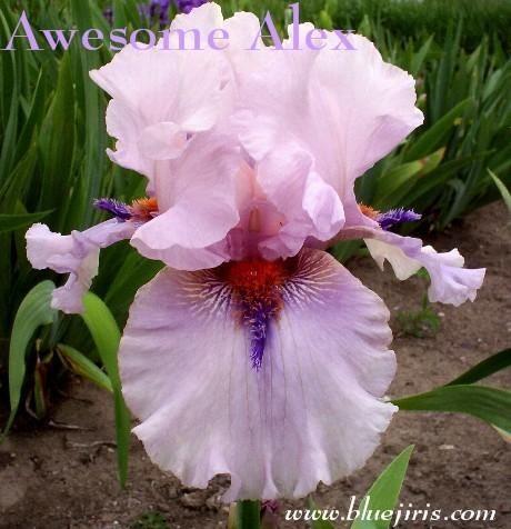 Photo Of Tall Bearded Iris Iris Awesome Alex Uploaded By Calif Sue Iris Flowers Iris Garden Beautiful Flowers