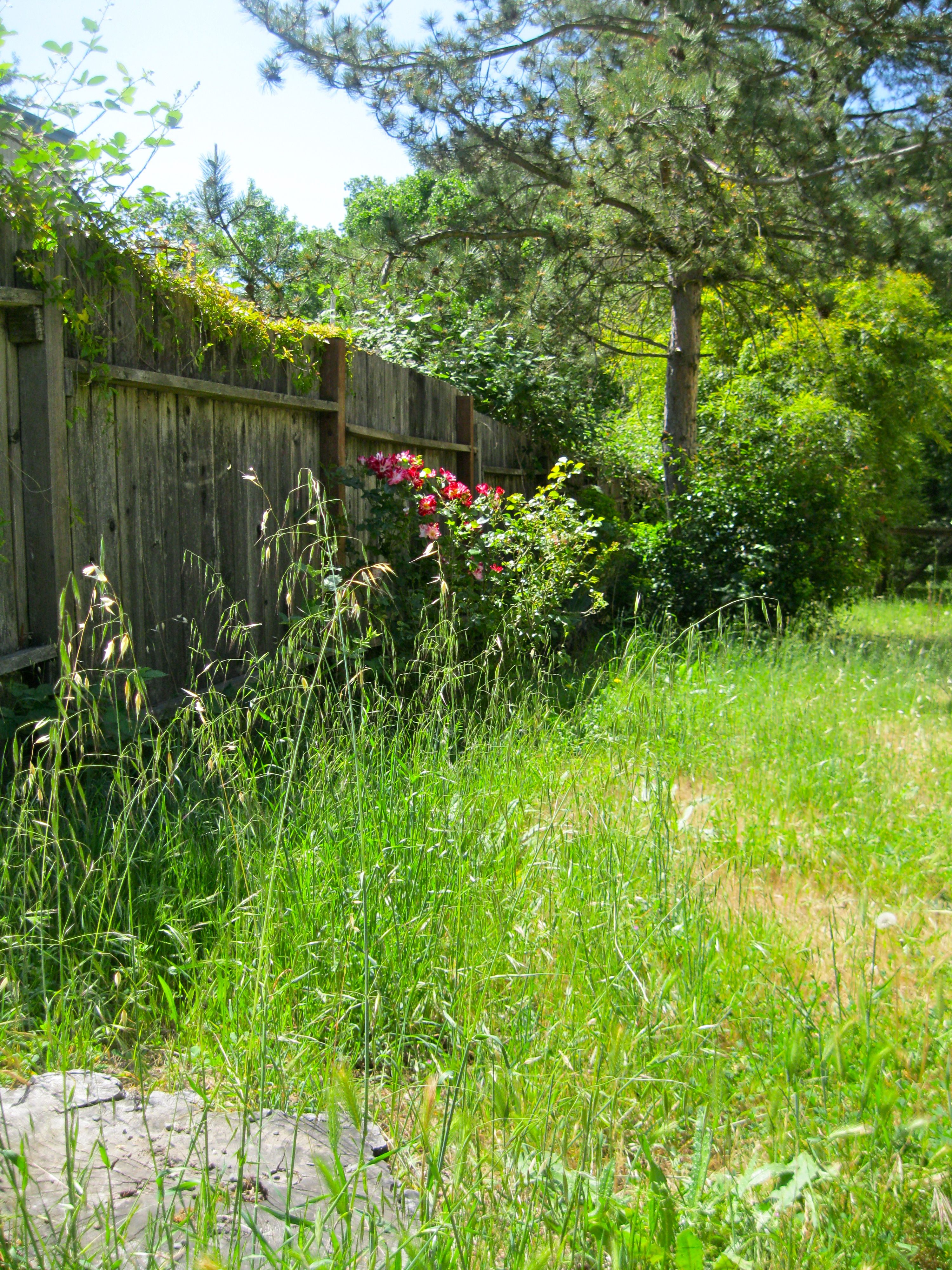 Plant a pretty rose bush by the fence organization and home ideas