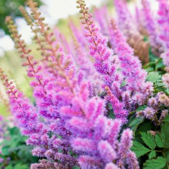 Astilbe And Craspedia Are Also Some Pretty Rustic Flowers Would Look Good In A Wildflower Bunch Flowers Perennials Astilbe Flower Perennials