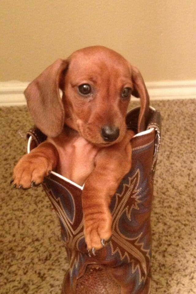 Pup In Boot Dachshund Doxie Darlin Weenie Dogs Weiner Dog