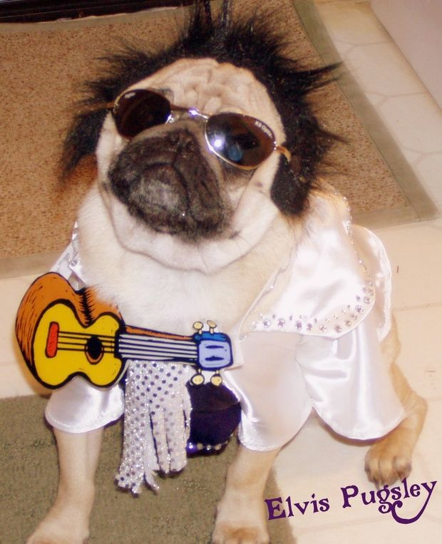 Elvis Pugsley Dog Halloween Cute Pugs Pug Pictures