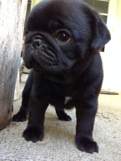 Baby Pug Cute Pug Puppies Baby Pugs Pug Puppies