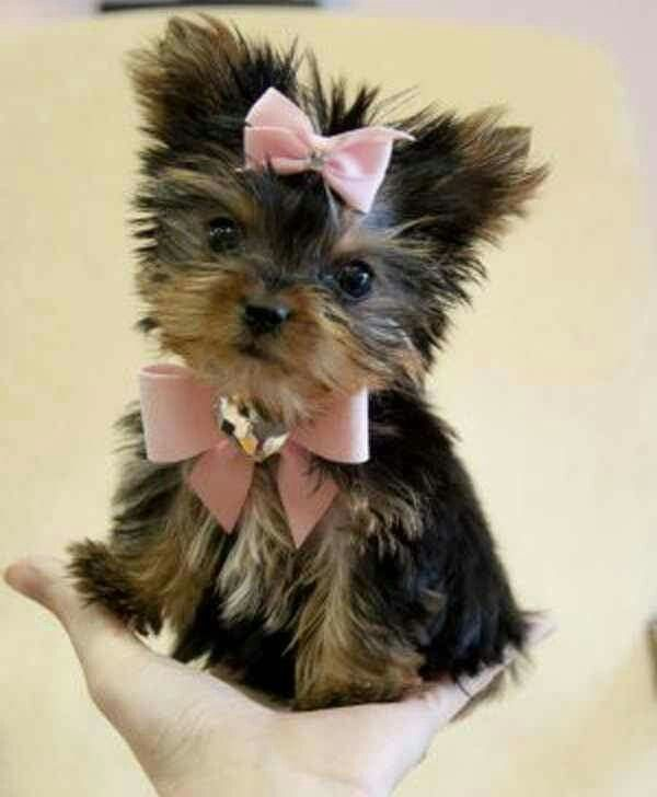 Great Ribbon Bow Adorable Dog - 8959ceb84d188044b40771737853f8e6  Best Photo Reference_177862  .jpg