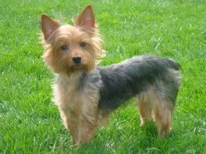 Adopt Amber On Silky Terrier Love Yorkshire Terrier Silky