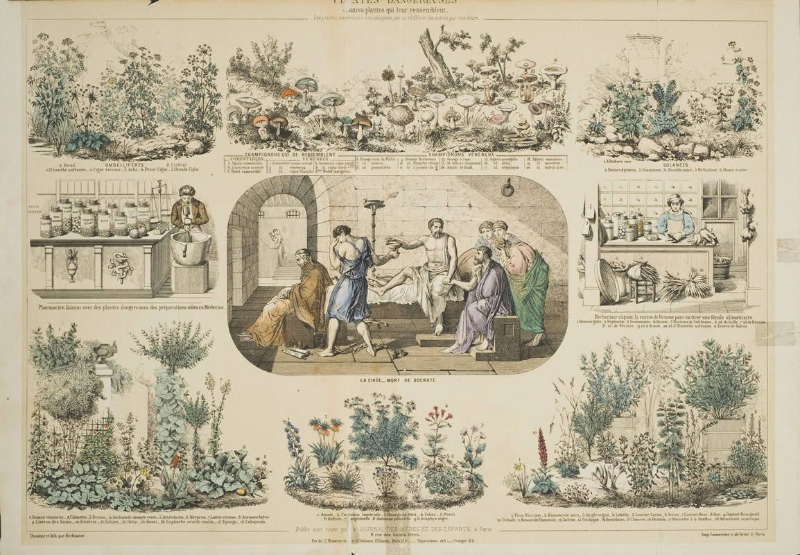 An 1850 Lithograph of Medicinal plants illustrating plants with powerful compounds. The upper right hand corner is decorated with Datura, hellbore, belladonna and other psychoactive members of the Solanaceae. Toxic fungi can be seen on the top center of the illustration and the surrounding borders illustrate various medicinal plants and their uses. The center image shows Socrates accepting a cup of Poison hemlock as his death sentence. Photo: National Library of Medicine.