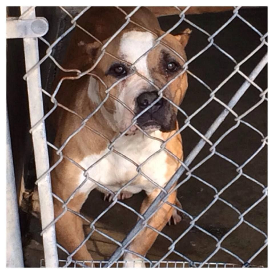 Lanie Has Seen Better Days Or Maybe Not She Was Found Tied Up In A Feed Bag On The Side Of A Road And Was Taken To San Bernardino C Pregnant Dog