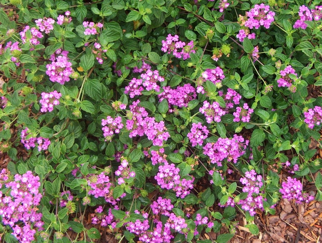 A Purple Variety Good As A Medium To Tall Ground Cover Grows Well In Beds  And Containers Gives Color In The Garden All The Warm Months Of The Year
